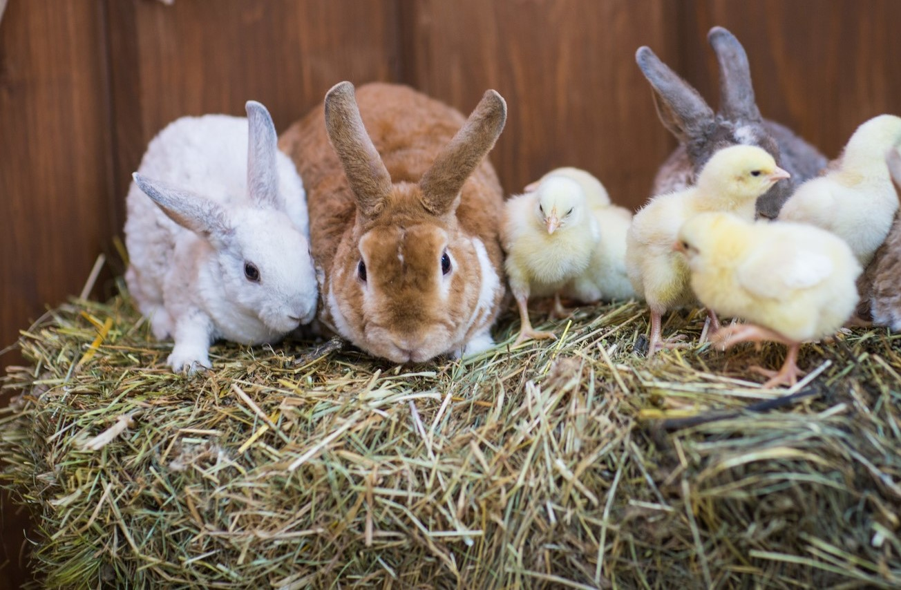 króliki ikury