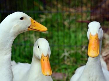 KIPDiP: Grypa ptaków pustoszy francuskie fermy kaczek