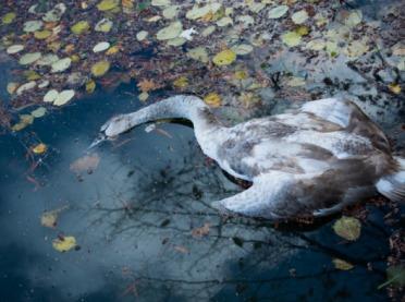 Martwe łabędzie z ptasią grypą blisko Torunia