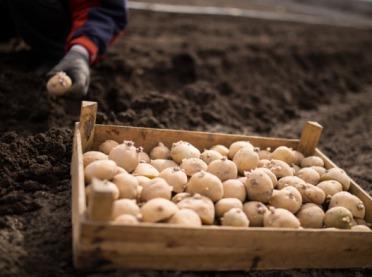 Wszystko, co musisz wiedzieć o sadzeniakach