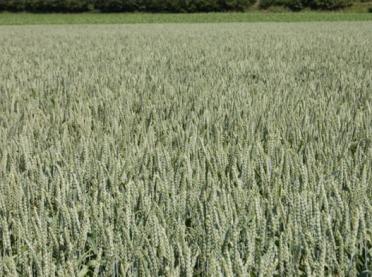 Pszenica jara - kalkulacje rolnicze