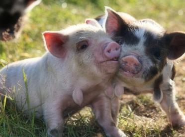 Niezwykłe świnie - przegląd ras