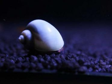 Ślimaki z rodzaju pomacea jako agrofagi stwarzające zagrożenie