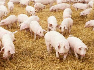 Genetyka i dobrostan a jakość wieprzowiny