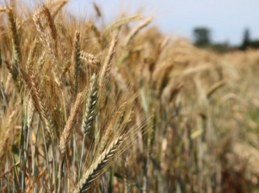 Najnowsze odmiany jęczmienia jarego do uprawy w rolnictwie ekologicznym