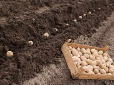 Parametry bulw ziemniaka a kierunek produkcji