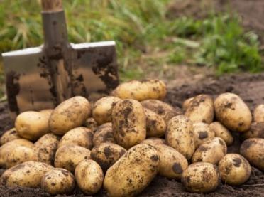 Nowe odmiany ziemniaka - warto je poznać!