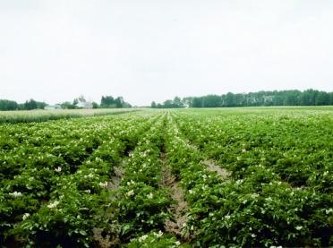 Szkodniki zagrożeniem dla bulw ziemniaka