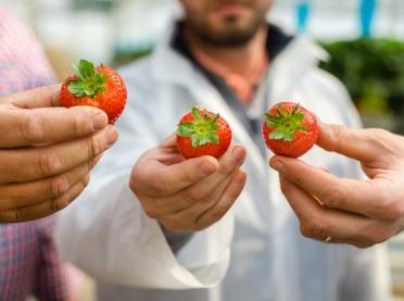 Jak odróżnić truskawki polskie od importowanych?