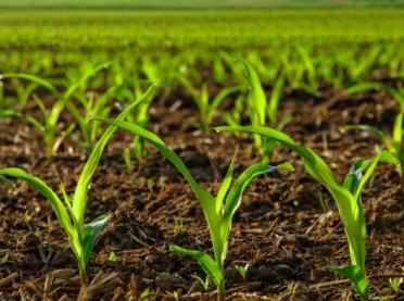 Ekologiczna uprawa kukurydzy - dobre praktyki w zwalczaniu chwastów