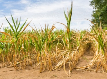 Szacowanie strat w uprawach rolnych spowodowanych suszą w 2021 r.