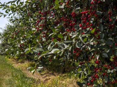 Rusza zbiór wiśni – ceny nie zadowalają