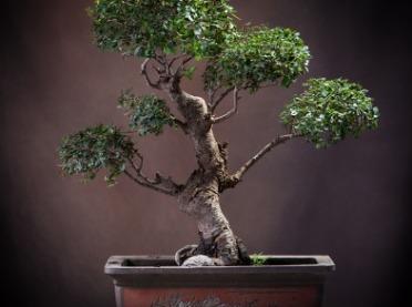 Drzewka bonsai - jak je pielęgnować?