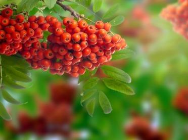 Owoce jarzębiny w kosmetyce