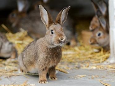 Hodowla królików - kompleksowy poradnik