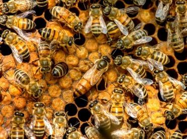 Co zabija pszczoły? Czy owady te wyginą całkowicie?