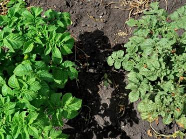 Zaraza ziemniaka – prawdopodobnie najbardziej wyniszczająca choroba roślin uprawnych w rolnictwie