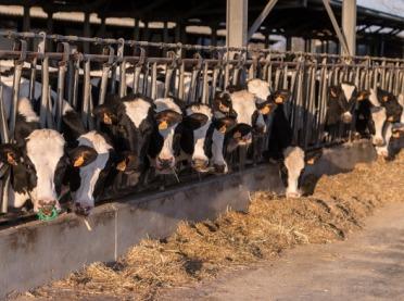 Jak poprawić płodność krów mięsnych w stadzie – praktyczne porady specjalistów