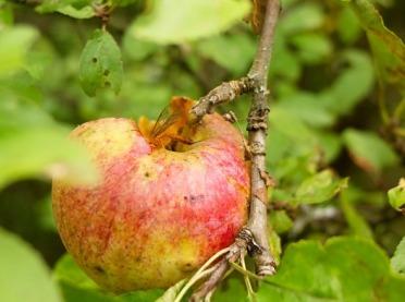Owocówka jabłkóweczka - jak z nią walczyć?