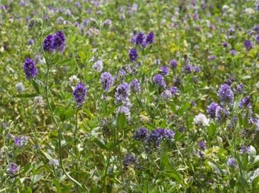 Lucerna - roślina zapomniana, ale niezwykle cenna dla zdrowia