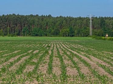 Nawożenie kukurydzy – jak robić to na starcie?