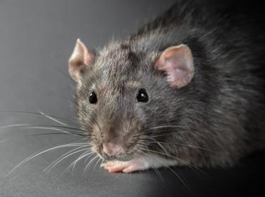 Jak skutecznie i zgodnie z prawem zwalczać szczury?