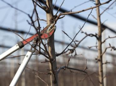 Drzew cięcie czy gięcie?