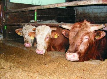 Opas bydła w cyklu otwartym