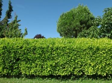 """Awantura o... żywopłot, czyli tworzymy """"zielone ogrodzenie"""" zgodnie z prawem"""