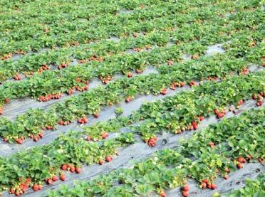Sadzenie truskawek: tradycyjne czy na czarnej tkaninie?