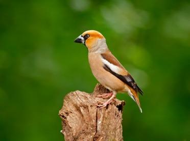Ptaki wokół nas - grubodziób zwyczajny
