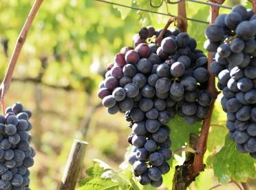Wszystko o uprawie winorośli