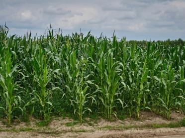 Plon kukurydzy - nie tylko pogoda jest winna
