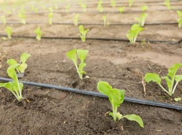 Skuteczna rozsada roślin – zwiększenie zasięgu systemu korzeniowego za pomocą grzybów mikoryzowych