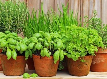 Świeże zioła - które rośliny warto mieć w domu?