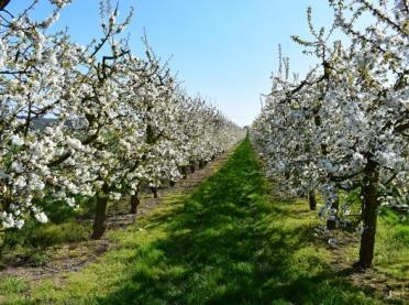 Jak dbać o kwitnące sady?