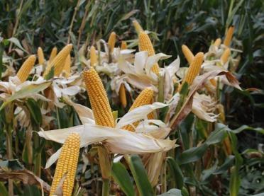 Wymagająca kolba, czyli jak uprawiać kukurydzę?