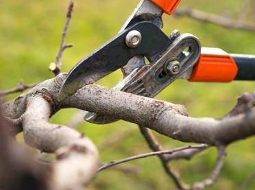 Jak przycinać stare drzewa owocowe?
