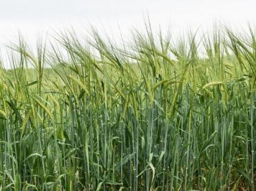 Główne szkodniki zbóż oraz ich skuteczne zwalczanie