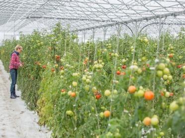 Metody zapylania pomidorów w uprawie szklarniowej i tunelowej