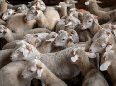 Opłacalne i skuteczne żywienie owiec