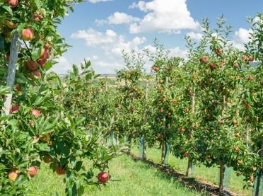 Prawidłowe sadzenie i właściwe nawożenie jabłoni