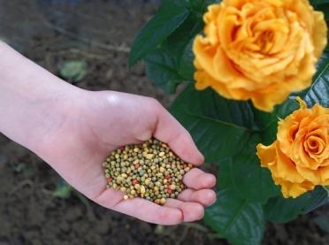 Jak nawozić róże?