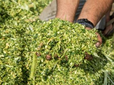 Jak uprawiać kukurydzę na kiszonkę?