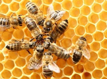Rolniku uważaj na pszczoły!