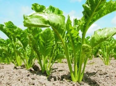 Choroby roślin okopowych - jak zwalczać?