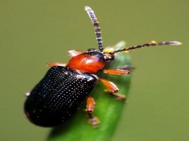 Skrzypionki - jak zwalczać te szkodniki zbóż?
