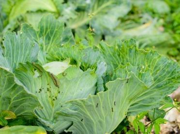 Bielinek kapustnik – sprawdź, jak zwalczać szkodnika roślin kapustnych!