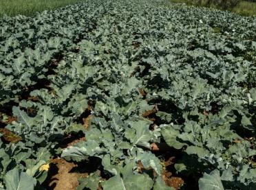 Uprawa brokuła - jak uniknąć problemów?