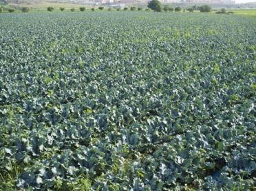 Sprawdź, jak skutecznie i opłacalnie uprawiać brokuły